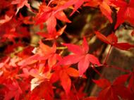 Asisbiz Maple trees Autumn leaves Kiyomizu dera Kyoto Japan Nov 2009 002