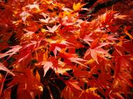 Asisbiz Maple trees Autumn leaves Kiyomizu dera Kyoto Japan Nov 2009 003