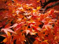 Asisbiz Maple trees Autumn leaves Kiyomizu dera Kyoto Japan Nov 2009 004