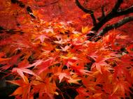 Asisbiz Maple trees Autumn leaves Kiyomizu dera Kyoto Japan Nov 2009 005