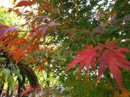 Asisbiz Maple trees Autumn leaves Kiyomizu dera Kyoto Japan Nov 2009 006
