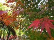 Asisbiz Maple trees Autumn leaves Kiyomizu dera Kyoto Japan Nov 2009 006