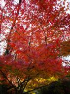 Asisbiz Maple trees Autumn leaves Kiyomizu dera Kyoto Japan Nov 2009 008