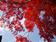Asisbiz Maple trees Autumn leaves Kiyomizu dera Kyoto Japan Nov 2009 010