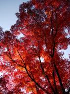 Asisbiz Maple trees Autumn leaves Kiyomizu dera Kyoto Japan Nov 2009 012