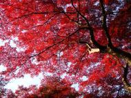 Asisbiz Maple trees Autumn leaves Kiyomizu dera Kyoto Japan Nov 2009 013