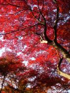 Asisbiz Maple trees Autumn leaves Kiyomizu dera Kyoto Japan Nov 2009 014