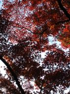 Asisbiz Maple trees Autumn leaves Kiyomizu dera Kyoto Japan Nov 2009 015