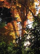 Asisbiz Maple trees Autumn leaves Kiyomizu dera Kyoto Japan Nov 2009 016