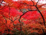 Asisbiz Maple trees Autumn leaves Kiyomizu dera Kyoto Japan Nov 2009 018