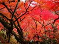 Asisbiz Maple trees Autumn leaves Kiyomizu dera Kyoto Japan Nov 2009 020