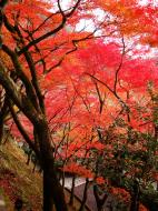 Asisbiz Maple trees Autumn leaves Kiyomizu dera Kyoto Japan Nov 2009 021