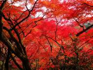 Asisbiz Maple trees Autumn leaves Kiyomizu dera Kyoto Japan Nov 2009 022