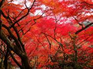 Asisbiz Maple trees Autumn leaves Kiyomizu dera Kyoto Japan Nov 2009 023