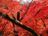 Asisbiz Maple trees Autumn leaves Kiyomizu dera Kyoto Japan Nov 2009 025