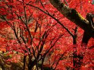 Asisbiz Maple trees Autumn leaves Kiyomizu dera Kyoto Japan Nov 2009 026