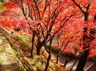 Asisbiz Maple trees Autumn leaves Kiyomizu dera Kyoto Japan Nov 2009 027