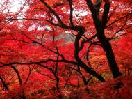 Asisbiz Maple trees Autumn leaves Kiyomizu dera Kyoto Japan Nov 2009 028