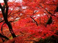 Asisbiz Maple trees Autumn leaves Kiyomizu dera Kyoto Japan Nov 2009 029