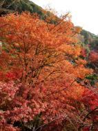 Asisbiz Maple trees Autumn leaves Kiyomizu dera Kyoto Japan Nov 2009 033