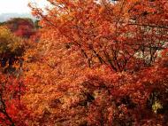Asisbiz Maple trees Autumn leaves Kiyomizu dera Kyoto Japan Nov 2009 036