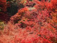 Asisbiz Maple trees Autumn leaves Kiyomizu dera Kyoto Japan Nov 2009 038