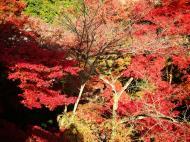 Asisbiz Maple trees Autumn leaves Kiyomizu dera Kyoto Japan Nov 2009 041