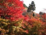 Asisbiz Maple trees Autumn leaves Kiyomizu dera Kyoto Japan Nov 2009 042