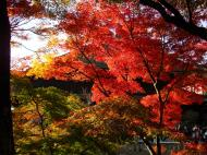 Asisbiz Maple trees Autumn leaves Kiyomizu dera Kyoto Japan Nov 2009 043