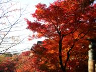 Asisbiz Maple trees Autumn leaves Kiyomizu dera Kyoto Japan Nov 2009 047
