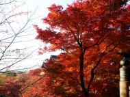 Asisbiz Maple trees Autumn leaves Kiyomizu dera Kyoto Japan Nov 2009 047