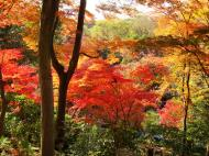 Asisbiz Maple trees Autumn leaves Kiyomizu dera Kyoto Japan Nov 2009 049