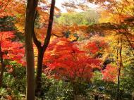 Asisbiz Maple trees Autumn leaves Kiyomizu dera Kyoto Japan Nov 2009 049