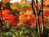 Asisbiz Maple trees Autumn leaves Kiyomizu dera Kyoto Japan Nov 2009 052