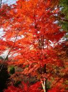 Asisbiz Maple trees Autumn leaves Kiyomizu dera Kyoto Japan Nov 2009 053