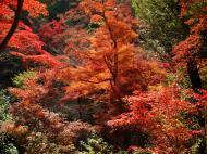 Asisbiz Maple trees Autumn leaves Kiyomizu dera Kyoto Japan Nov 2009 054