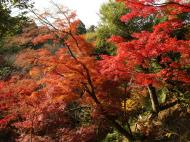 Asisbiz Maple trees Autumn leaves Kiyomizu dera Kyoto Japan Nov 2009 055