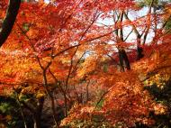 Asisbiz Maple trees Autumn leaves Kiyomizu dera Kyoto Japan Nov 2009 056