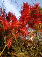 Asisbiz Maple trees Autumn leaves Kiyomizu dera Kyoto Japan Nov 2009 063