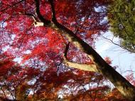 Asisbiz Maple trees Autumn leaves Kiyomizu dera Kyoto Japan Nov 2009 065