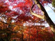Asisbiz Maple trees Autumn leaves Kiyomizu dera Kyoto Japan Nov 2009 066