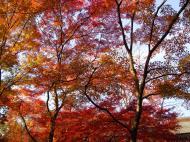 Asisbiz Maple trees Autumn leaves Kiyomizu dera Kyoto Japan Nov 2009 067