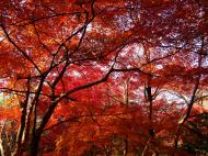 Asisbiz Maple trees Autumn leaves Kiyomizu dera Kyoto Japan Nov 2009 068