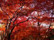 Asisbiz Maple trees Autumn leaves Kiyomizu dera Kyoto Japan Nov 2009 068
