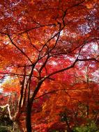 Asisbiz Maple trees Autumn leaves Kiyomizu dera Kyoto Japan Nov 2009 069