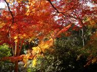 Asisbiz Maple trees Autumn leaves Kiyomizu dera Kyoto Japan Nov 2009 071