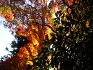 Asisbiz Maple trees Autumn leaves Kiyomizu dera Kyoto Japan Nov 2009 073