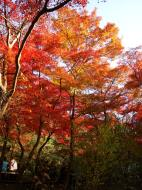 Asisbiz Maple trees Autumn leaves Kiyomizu dera Kyoto Japan Nov 2009 074