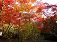 Asisbiz Maple trees Autumn leaves Kiyomizu dera Kyoto Japan Nov 2009 075