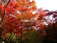 Asisbiz Maple trees Autumn leaves Kiyomizu dera Kyoto Japan Nov 2009 076